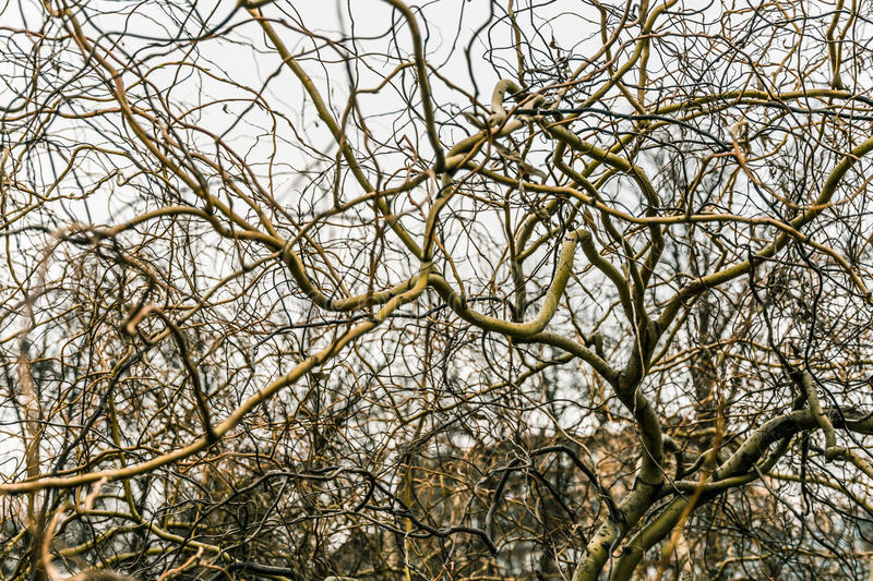 Tree with interwoven branche royalty free stock photography