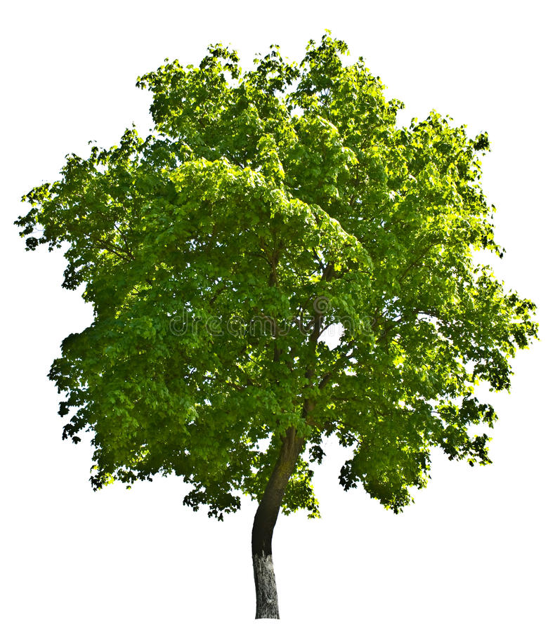 Download Tree Isolated Royalty Free Stock Photo - Image: 10863885