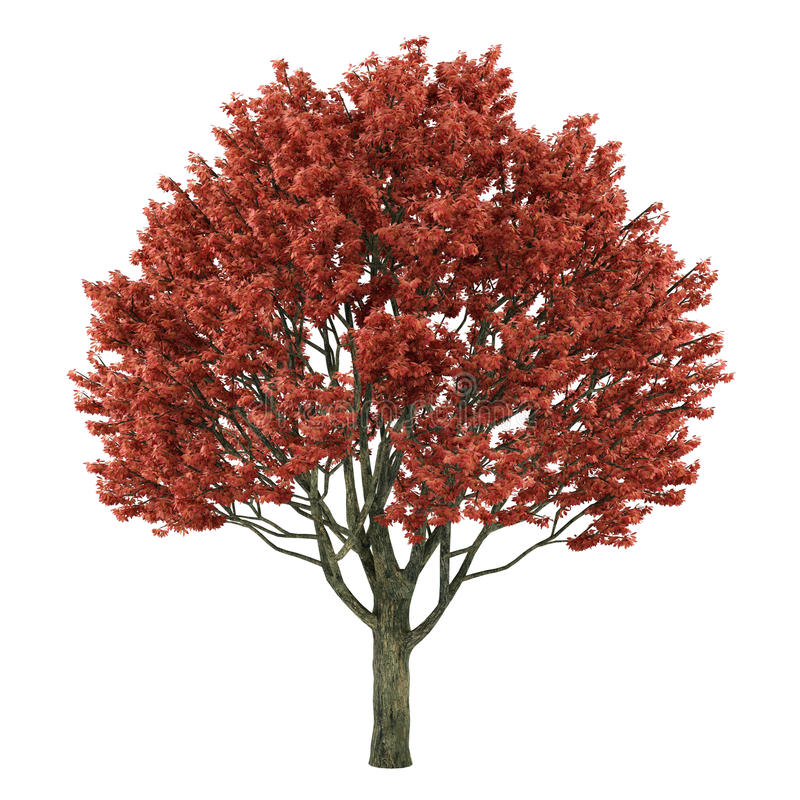 Download Tree Isolated. Acer Griseum Stock Illustration - Image: 35414443
