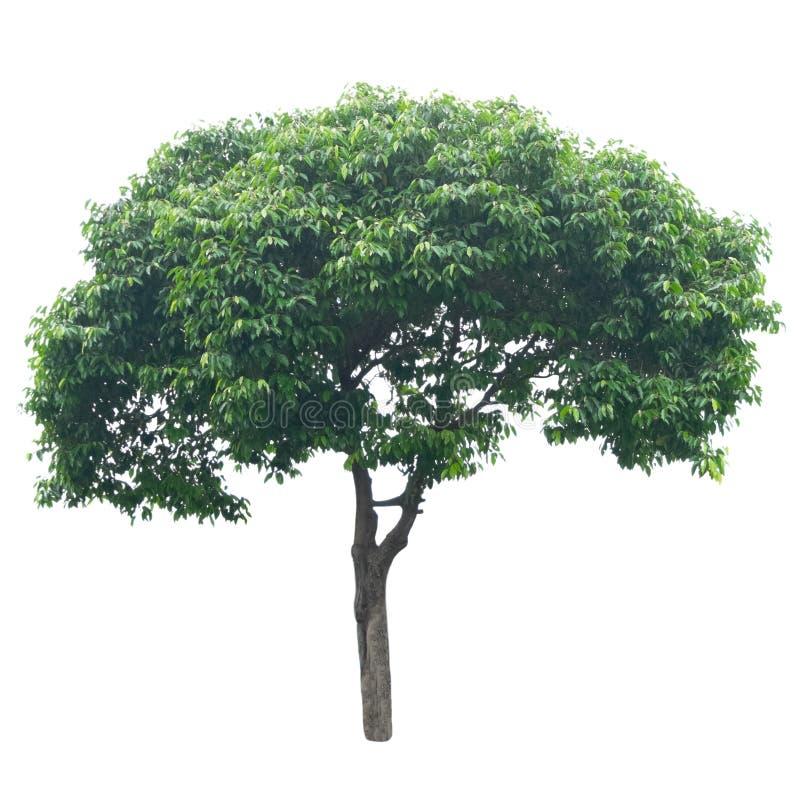 Free Tree Isolated On White Background Royalty Free Stock Photos - 37793858