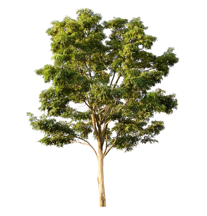 tree isolated on white royalty free stock image