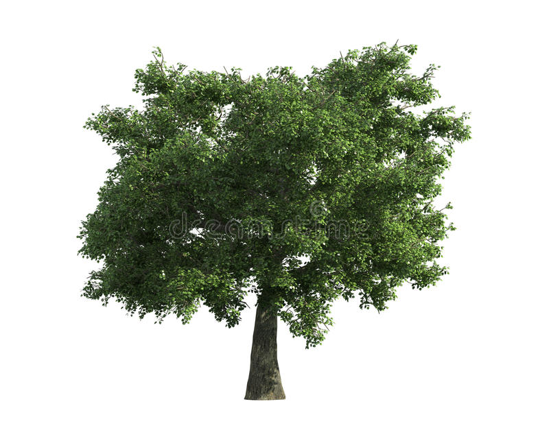 Download Tree Isolated On A White Background Stock Image - Image: 26003675