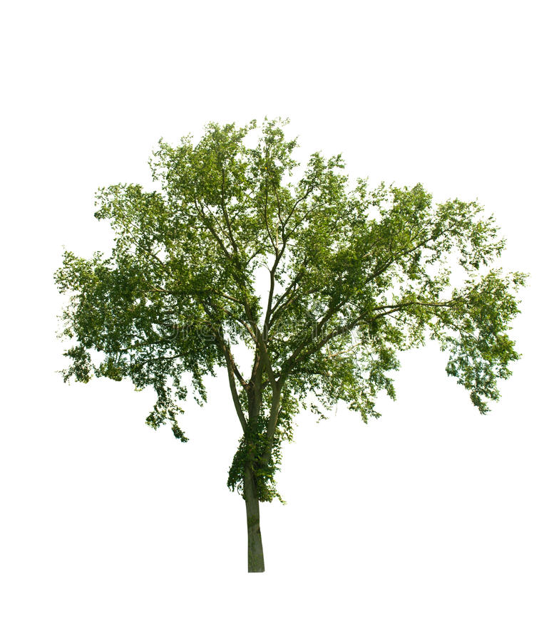 Download Tree isolated on white stock image. Image of tree, branches - 30066757