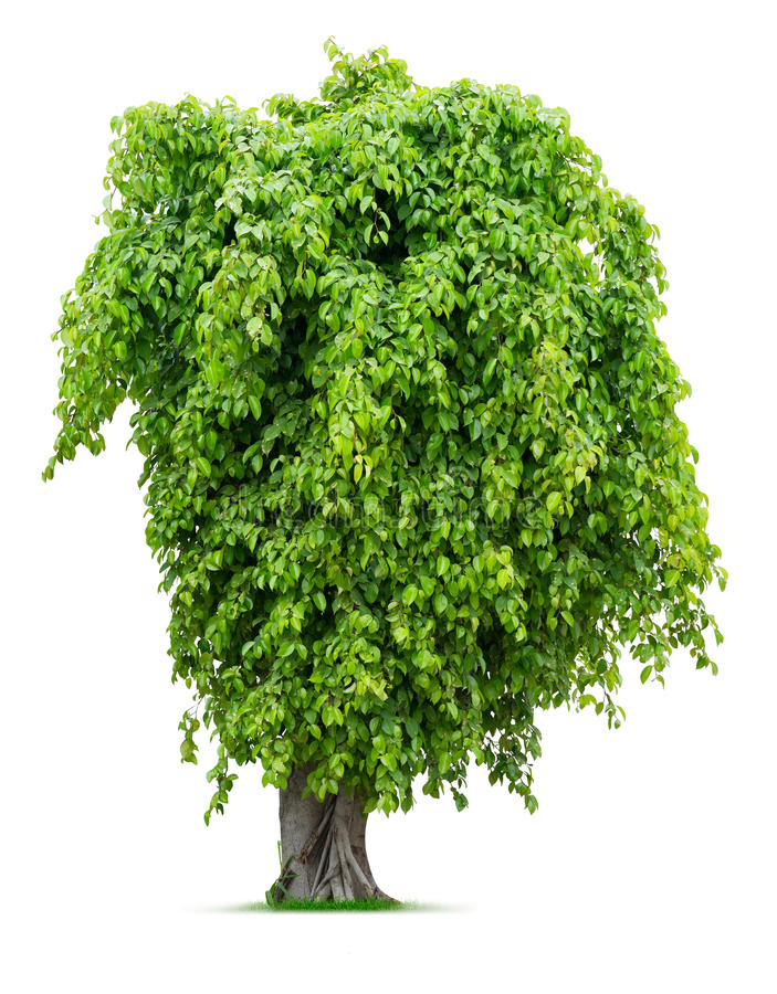 Download Tree stock photo. Image of tree, botanical, green, foliage - 31396146