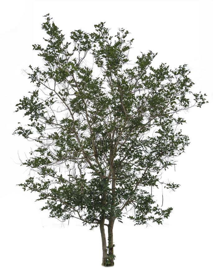 Tree isolated on white background. Big tree isolated on white background with clipping path stock images