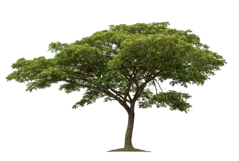 Tree isolated on white background with clipping paths for garden design stock photo