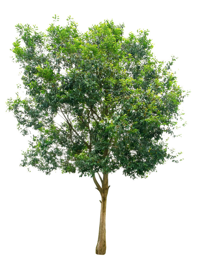 Tree isolated on white background. And nature royalty free stock photos