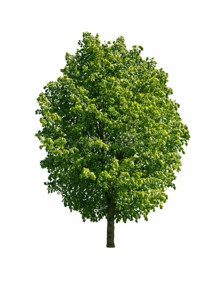 Tree isolated on white stock photos