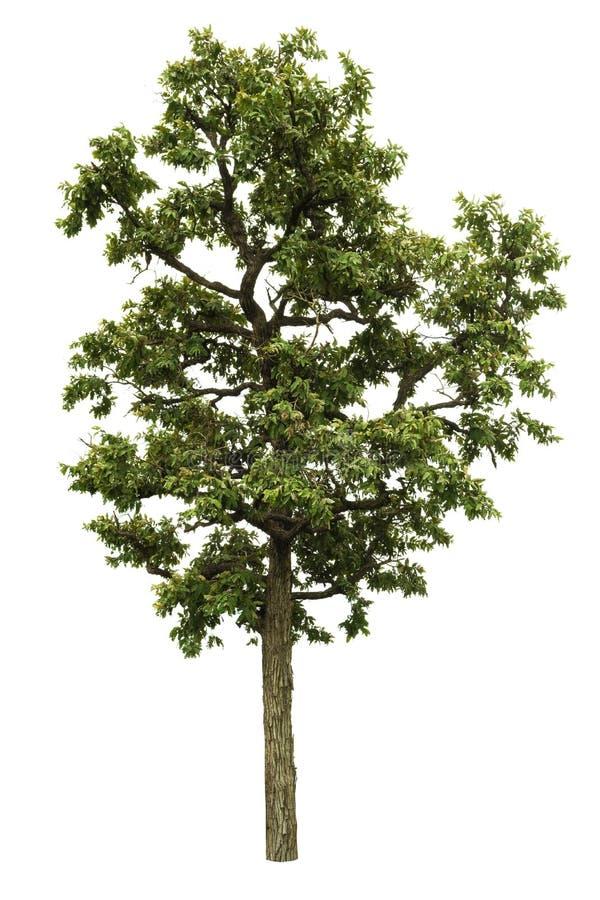 Tree isolated on white background royalty free stock image