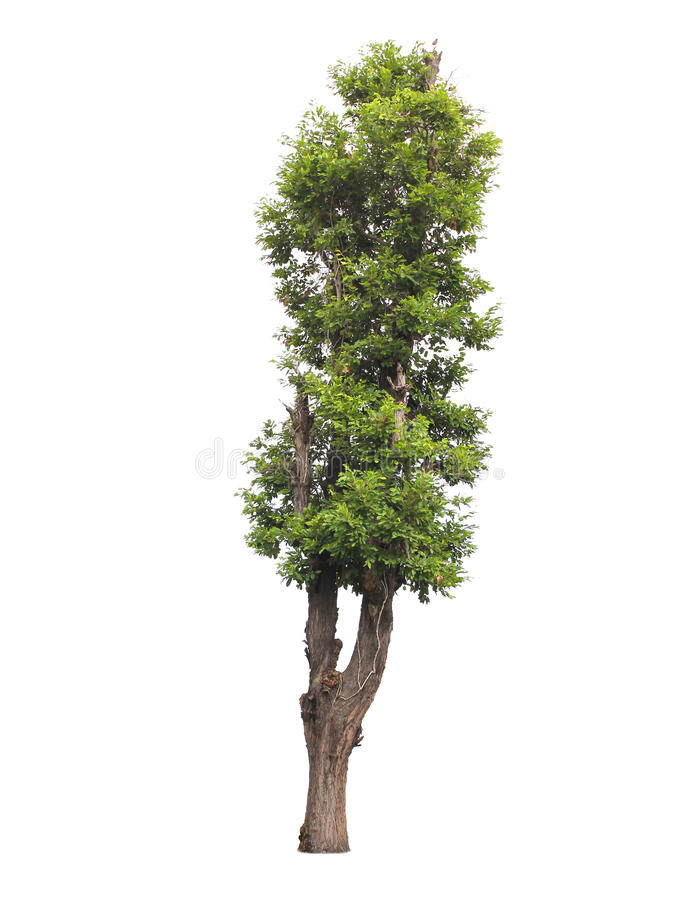 Tree isolated on white background. Tropical tree isolated on white background for cut-out or cutting vector illustration