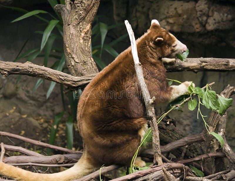 Download Tree Kangaroo stock image. Image of eating, danger, habitat - 5868403