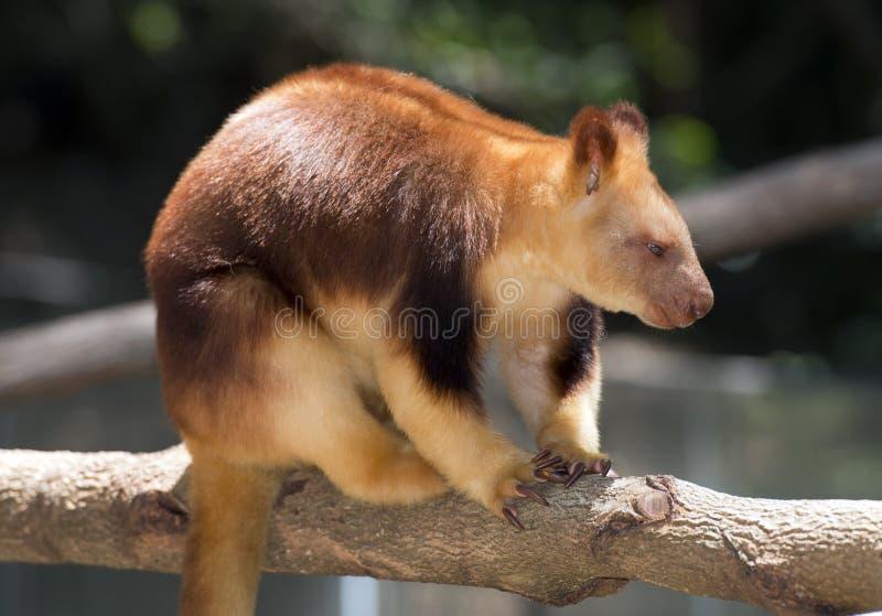 Tree kangaroo royalty free stock photo