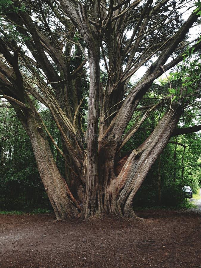 Tree in Killarney national park kerry irelan. Tree killarney national park kerry trees green stock photography