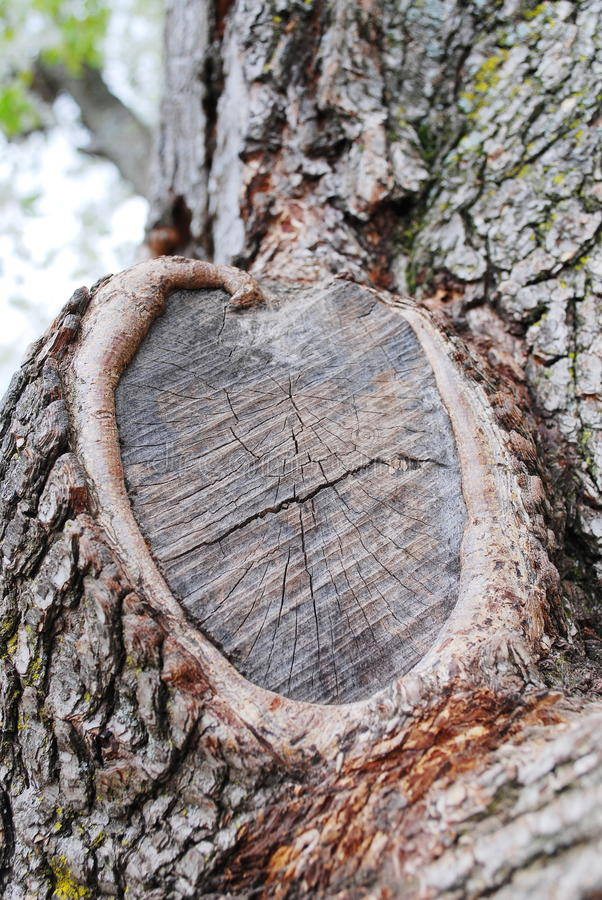 Tree Knot Texture Royalty Free Stock Images