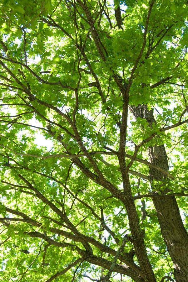 Free Tree Krona Stock Photography - 19974562