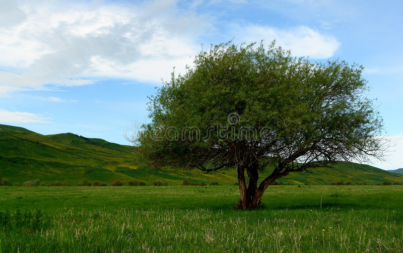 Tree on Kyrgyzstan steppes. Lone tree in landscape of steppes, Kyrgyzstan, Asia royalty free stock photos