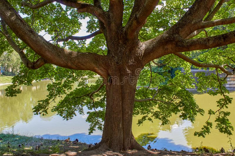 Tree at the lake with ducks stock images
