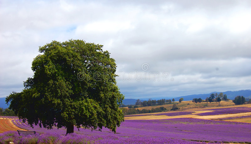 Download Tree In A Lavender Field Stock Photos - Image: 5899793