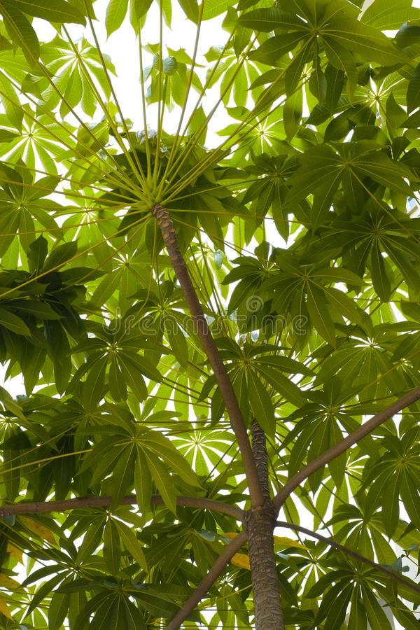 Tree And Leaf Canopy Stock Image