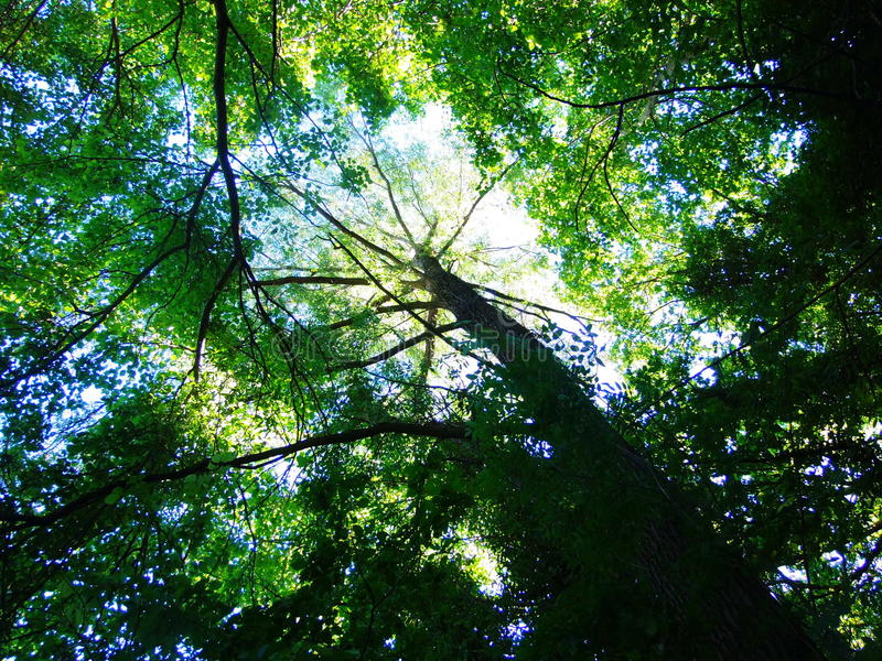 Tree leaf sky nature forest royalty free stock photos