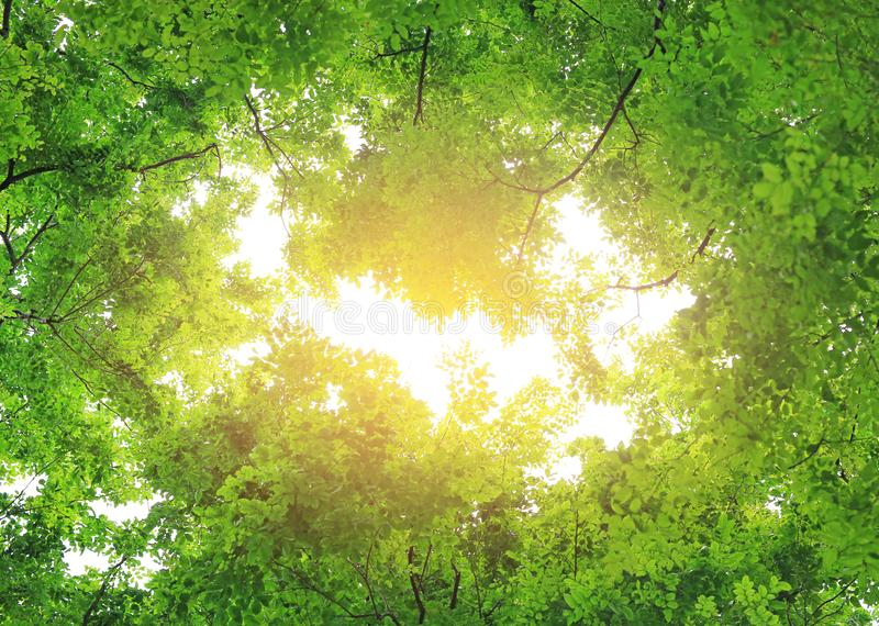 Tree leaf and sun ray. Green leaves background with copy space stock photo