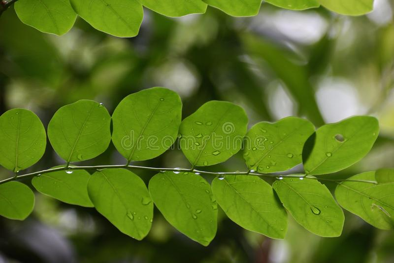 Tree leaf and water drop. stock photography