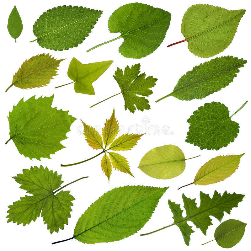Free Tree Leaves Royalty Free Stock Photos - 30234158