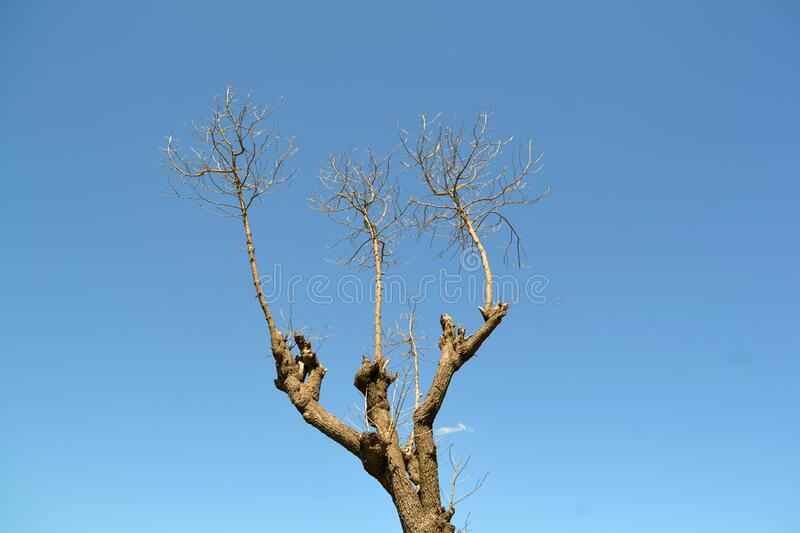 tree without leaves royalty free stock photos