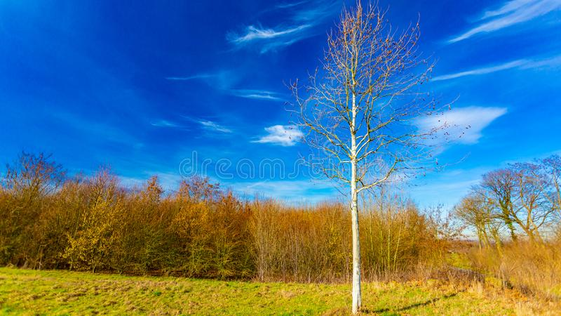 Tree without leaves in a field with a blue sky and white clouds with elongated shape that give the appearance of angels flying. Wonderful sunny day in Beek stock photography