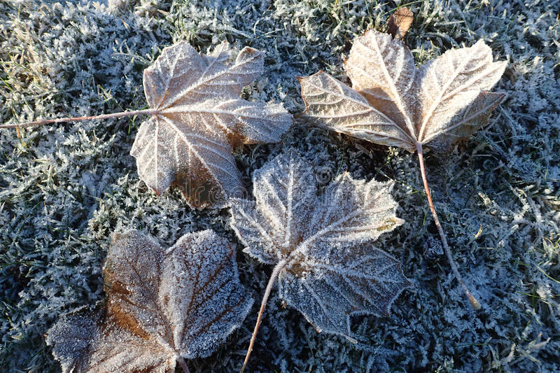 Tree leaves with hoar frost, placed on frosty grass. royalty free stock photos