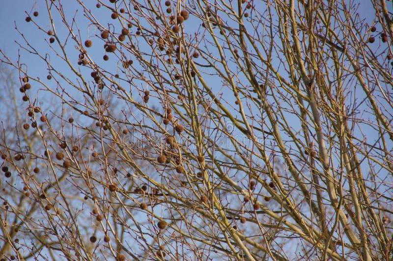 A tree without leaves, with little brown balls. The branches are long and fine. The sun illuminates the tree. It`s daytime and without character. The sky is stock image