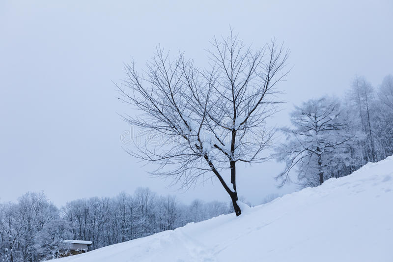 Tree without leaves. royalty free stock photography