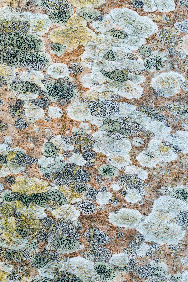 Tree lichen pattern. Texture pattern of lichen growing on a tree trunk. Multiple species of crustose lichen in the Brecon Beacons National Park, Wales, UK stock photography