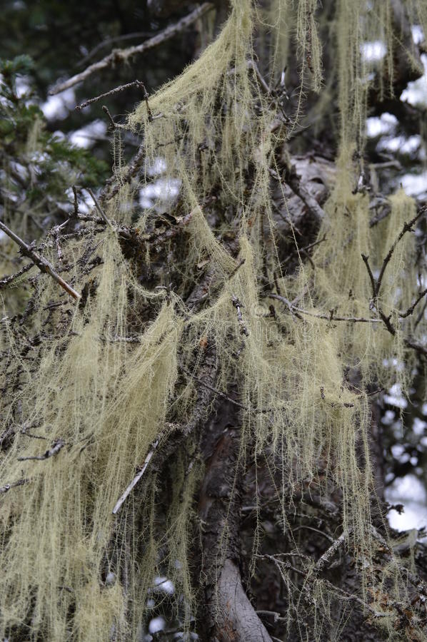 Tree Lichen stock photography