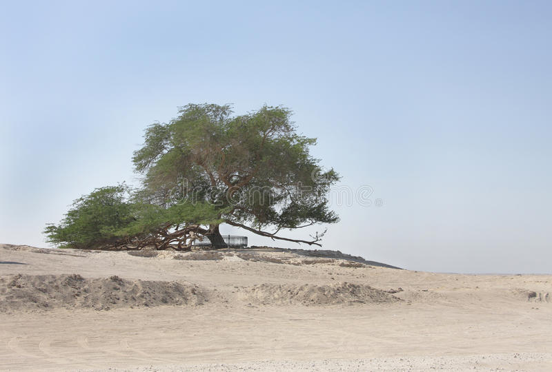 Tree of life in Bahrain, a 400 year-old tree. A 400 year-old mesquite tree which lives in the middle of desert stock photos
