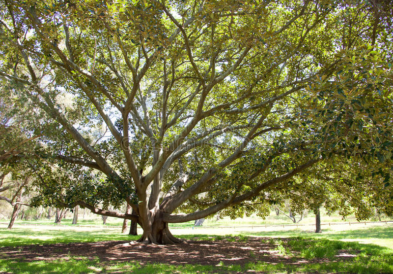 Tree of Life: Bold Park stock photography