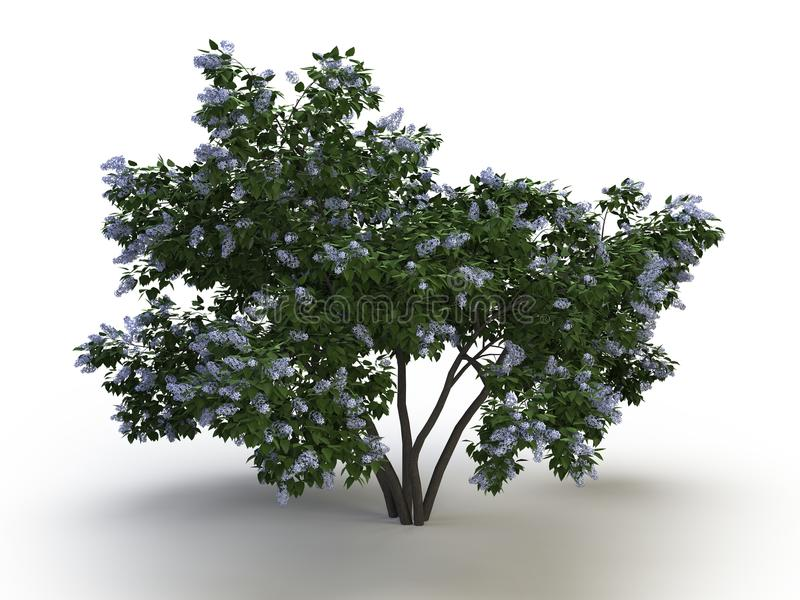 Tree lilac stock photo
