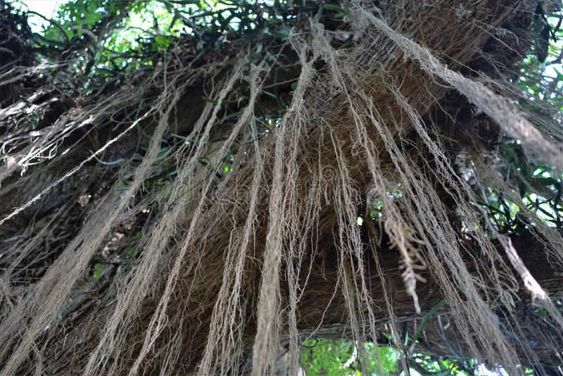 Tree limb with Vines hanging down stock photo