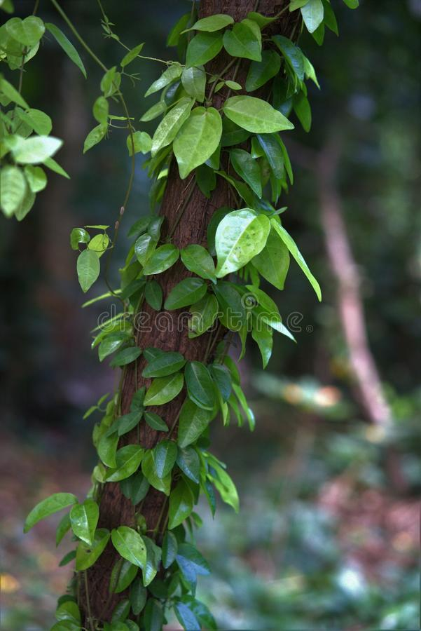 Tree limb with Vines and leaves hanging down royalty free stock images