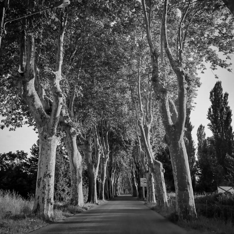 Black and white trees and road as alley view. Artistic nature scene. Mediterranean trees landscape royalty free stock photography