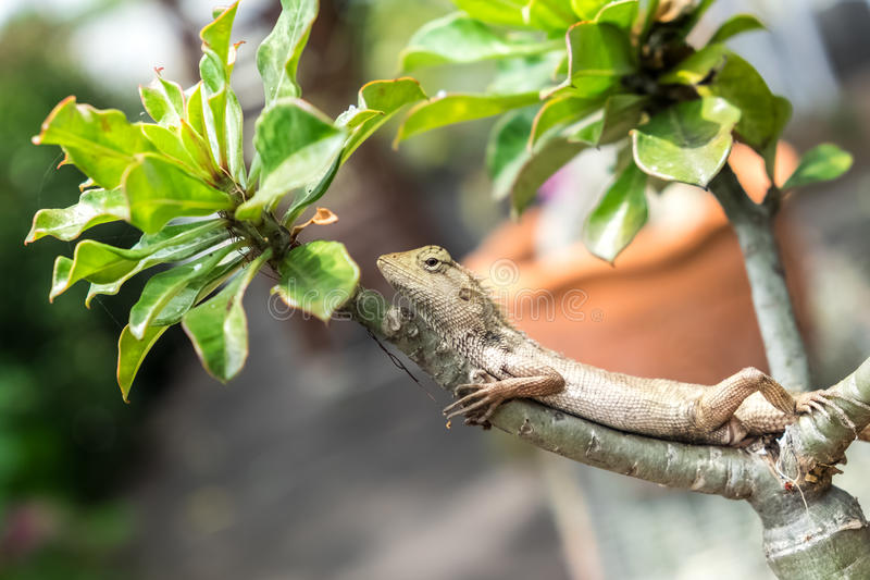 Tree lizard royalty free stock images