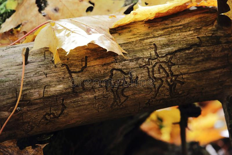 Tree log without bark with insect made hieroglyphs and yellow leaves. Tree log without bark with insect made hieroglyphs and autumn yellow leaves, environment stock images