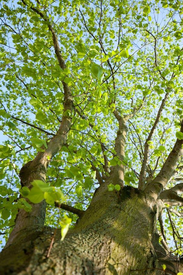 Free Tree Look Up Sky Royalty Free Stock Photo - 26808435