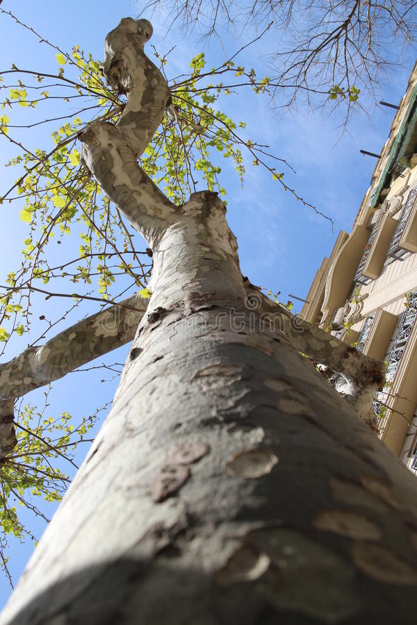Tree looking up view. Looking up at a tree in the sky royalty free stock photo