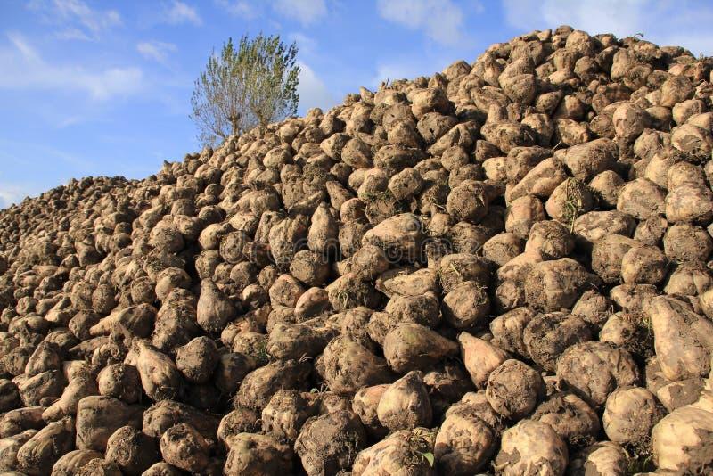 A tree and many sugar beets on a heap. royalty free stock photos