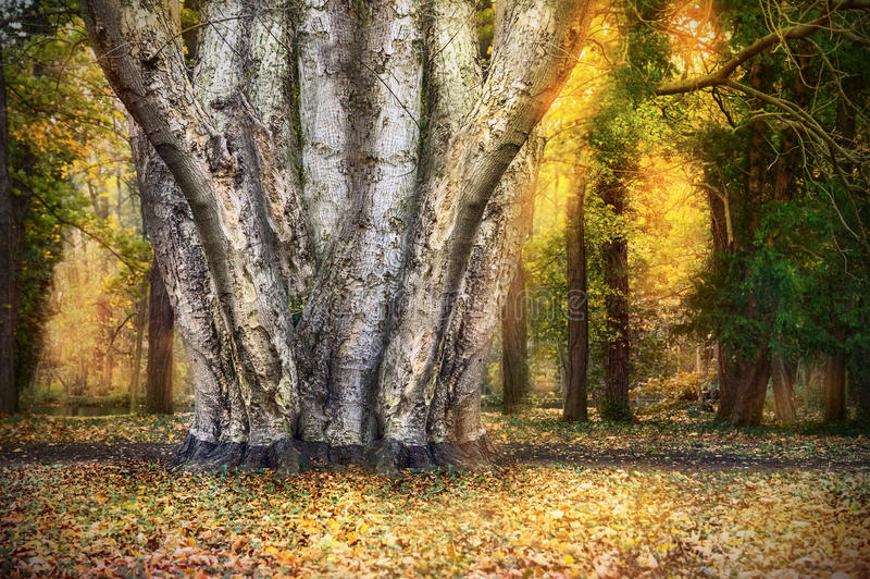 Tree with many trunks in autumn forest stock images