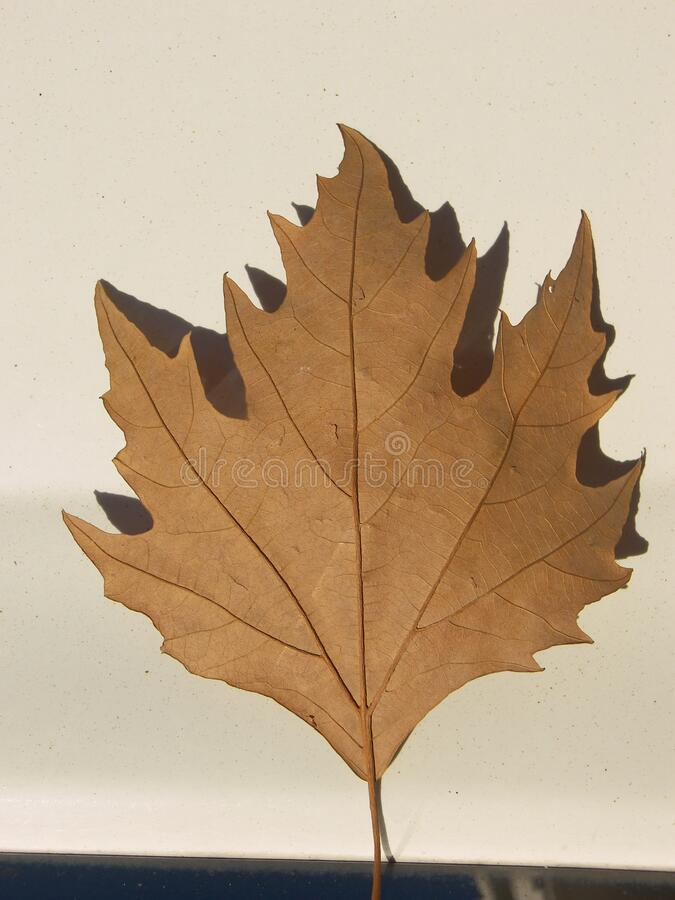 Maple leaf dry. The tree of maple featuring leaf dry stock photo