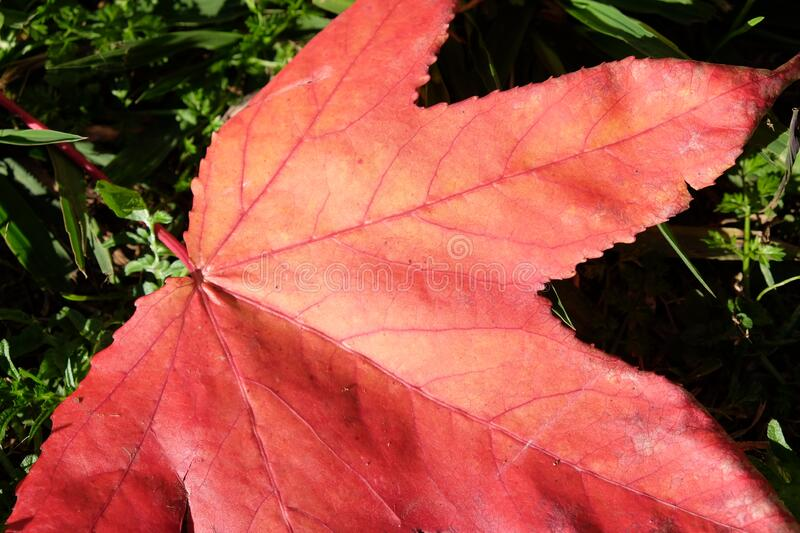 Maple leaf red. The tree of maple featuring leaf red royalty free stock images
