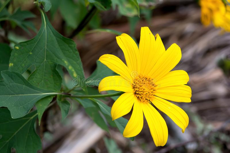 Tree marigold, Mexican tournesol, Mexican sunflower, Japanese sunflower, Nitobe chrysanthemum stock photos