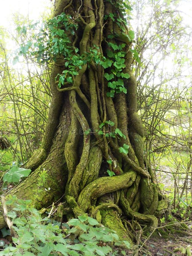 Tree med murgrönaen arkivfoton